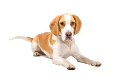 Beagle dog. Lying on the floor, isolated on a white background Stock Photo