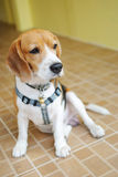 Beagle Dog. The Beagle dog is sitting and look suspected royalty free stock image