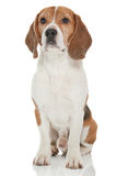 Beagle dog Stock Image