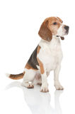 Beagle dog. A cute dog of the beagle breed Royalty Free Stock Photo