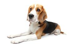 Beagle dog. Cute Beagle puppy dog on white background Royalty Free Stock Photography
