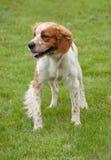 Beagle dog. Beautiful beagle dog on the green grass Royalty Free Stock Photography