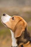 Beagle dog. Side portrait of tan and white beagle hound dog outdoors royalty free stock images