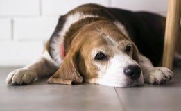 Beagle Dog. Old Beagle Dog lying on the floor Royalty Free Stock Image