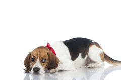 Beagle dog Royalty Free Stock Photography