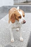 Beagle dog Royalty Free Stock Image