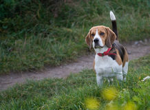 Beagle - Dog Royalty Free Stock Image