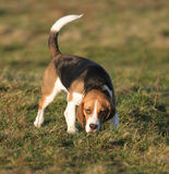 Beagle - dog Royalty Free Stock Photo