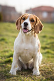Beagle dog. Portrait cute beagle puppy dog looking Stock Photography