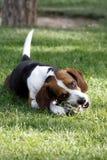 Beagle dog  Royalty Free Stock Photography