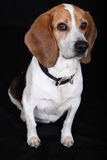 Beagle dog. A beagle dog wearing a collar Stock Photo
