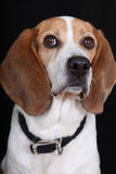 Beagle Dog. A portrait of a cute looking male Beagle dog Royalty Free Stock Images