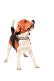 Beagle dog acting in studio light  white b Royalty Free Stock Photo