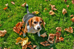 Beagle dog in autumn Royalty Free Stock Image
