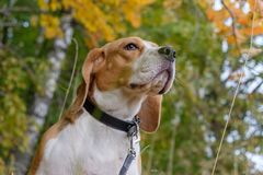 Beagle dog on a background of autumn forest. Beagle dog for a walk in the woods on a background of yellow autumn foliage Royalty Free Stock Photography