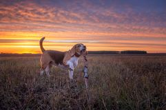 Beagle dog on the background of a beautiful autumn sunset royalty free stock image