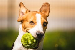Beagle dog with a ball on a green meadow during spring,summer runs towards camera with ball. Beagle dog fun in garden outdoors run and jump with ball towards stock images