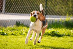 Beagle dog with a ball on a green meadow during spring,summer runs towards camera with ball. Beagle dog fun in garden outdoors run and jump with ball towards stock photography