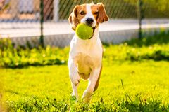 Beagle dog with a ball on a green meadow during spring,summer runs towards camera with ball. Beagle dog fun in garden outdoors run and jump with ball towards royalty free stock photo