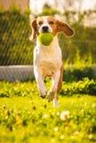 Beagle dog with a ball on a green meadow during spring,summer runs towards camera with ball. Beagle dog fun in garden outdoors run and jump with ball towards stock photo