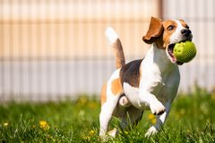 Beagle dog with a ball on a green meadow during spring,summer runs towards camera with ball. Beagle dog fun in garden outdoors run and jump with ball towards royalty free stock images