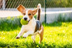 Beagle dog with a ball on a green meadow during spring,summer runs towards camera with ball. Dog Beagle with long floppy ears on a green meadow during spring stock photo