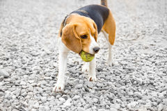 Beagle dog with ball in mouth Royalty Free Stock Image