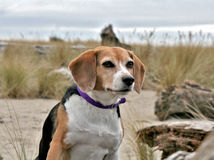 Beagle dog on beach Royalty Free Stock Image