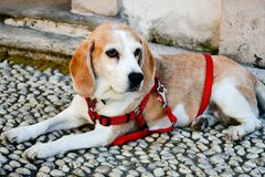 Beagle dog. Lying on the ground in Isola bella, italy stock photos
