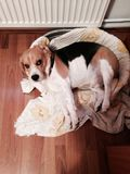 Beagle Royalty Free Stock Photo