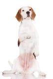 Beagle dog begging. Beagle dog doing tricks on white Stock Photo