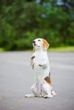 Beagle dog begging Royalty Free Stock Images