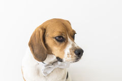 Beagle dog in bow tie head fragment Royalty Free Stock Photo