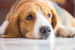 Beagle dog boy looking up Stock Images