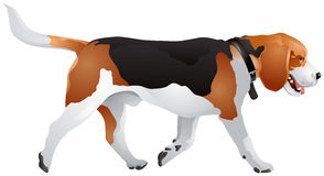 Beagle dog breed color Stock Images