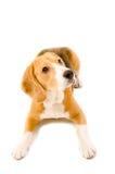 Beagle. Dog breed beagle  lying on the floor. Isolated Stock Photography