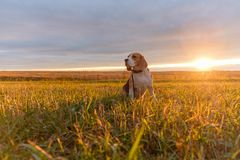 Beagle dog in the bright rays of the autumn sunset. Dog Beagle on a walk in the bright rays of the autumn sunset Stock Image