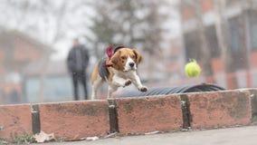 Beagle dog chasing ball Stock Image