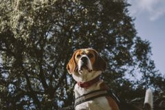 Beagle dog climbed on a large rock during a walk in the countryside royalty free stock images