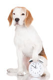 Beagle dog with a clock Stock Photo
