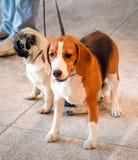 Beagle dog close up Royalty Free Stock Photo