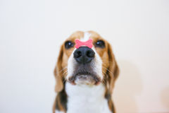 Beagle dog is concentrate at snack. And focus stand still Royalty Free Stock Photo