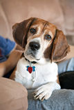 Beagle Dog on the Couch. Cute beagle dog looking at the viewer. Shallow depth of field stock images