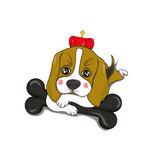 Beagle. Dog with dog chews be strong Royalty Free Stock Photo