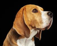 Beagle Dog Isolated on Black Background. Beagle Dog, Doggy, pet, Isolated on Black Background in photo studio Royalty Free Stock Photos