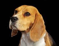 Beagle Dog Isolated on Black Background. Beagle Dog, Doggy, pet, Isolated on Black Background in photo studio Stock Image