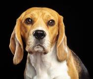 Beagle Dog Isolated on Black Background. Beagle Dog, Doggy, pet, Isolated on Black Background in photo studio Royalty Free Stock Image