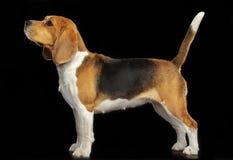 Beagle Dog Isolated on Black Background. Beagle Dog, Doggy, pet, Isolated on Black Background in photo studio Stock Photo