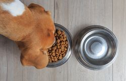 Beagle dog eating. Food from bowl. Top view royalty free stock photos