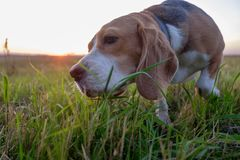 Beagle dog eats green grass. During an evening walk at sunset Royalty Free Stock Photo